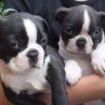 Beautiful Boston Terrier puppies looking for new homes (408)