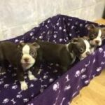 ADORABLE LITTER BOSTON TERRIER PUPPIES FOR SALE