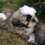 ADORABLE YOUNG MALE AND FEMALE SHIH TZU PUPS