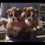 YOUNG 12 WEEKS OLD MALE AND FEMALE BOXER PUPPIES FOR SALE