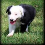 FANTASTIC BORDER COLLIES PUPPIES READY NOW