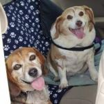 LOOKING TO ADOPT A BREW BEAGLE?