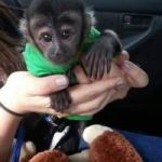 Capuchin Baby Monkeys To Pet Loving Homes