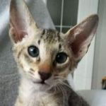 Male and female short hair peterbald kittens for adoption.
